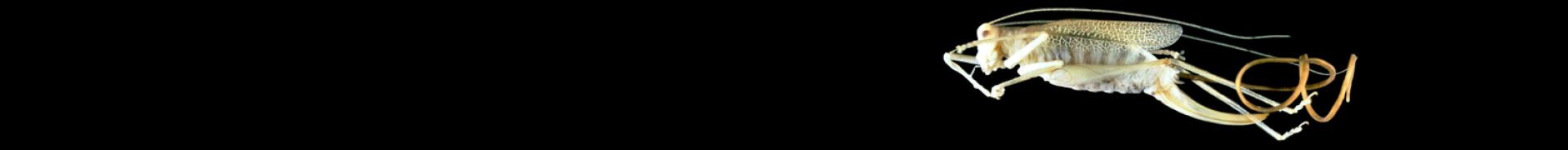 Spinochordodes tellinii
